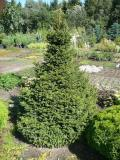 "Picea abies ""Barryi"""